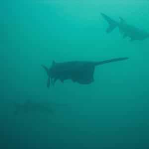 Paddlefish populations have declined due to overfishing and habitat destruction.
